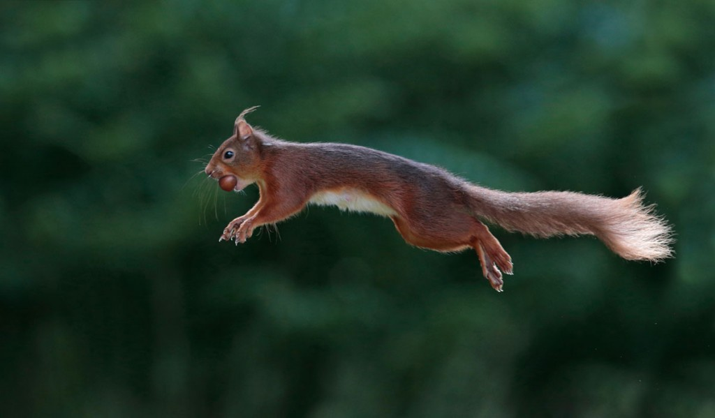 Red squirrels in the Cairngorms National Park