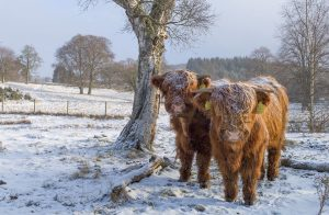 Two moo arrivals at Muckrach!